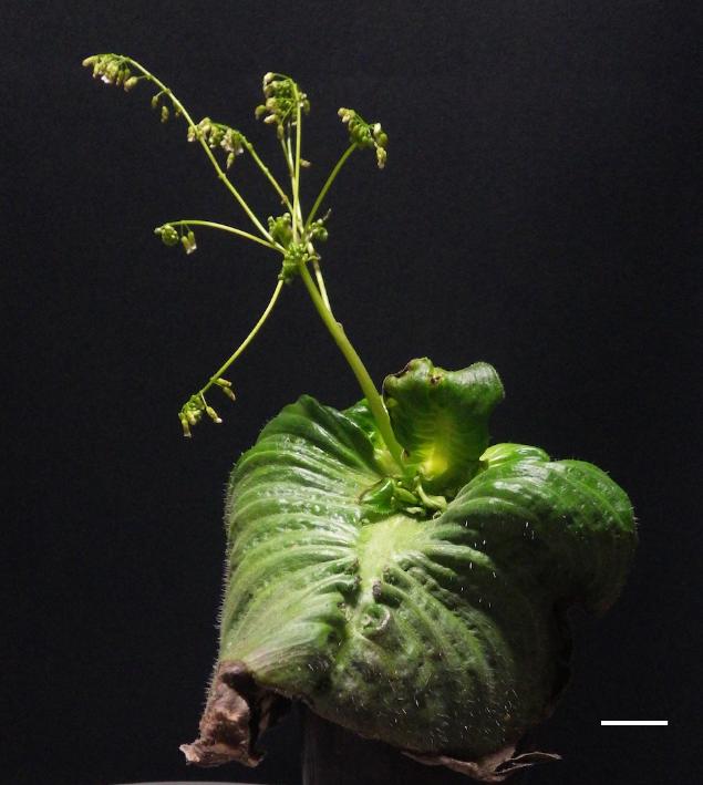 モノフィレアの一種であるMonophyllaea glabraの成熟した個体 手前の大きな葉が無限に成長し続ける子葉で、その最も基部から花序が立ち上がっている。