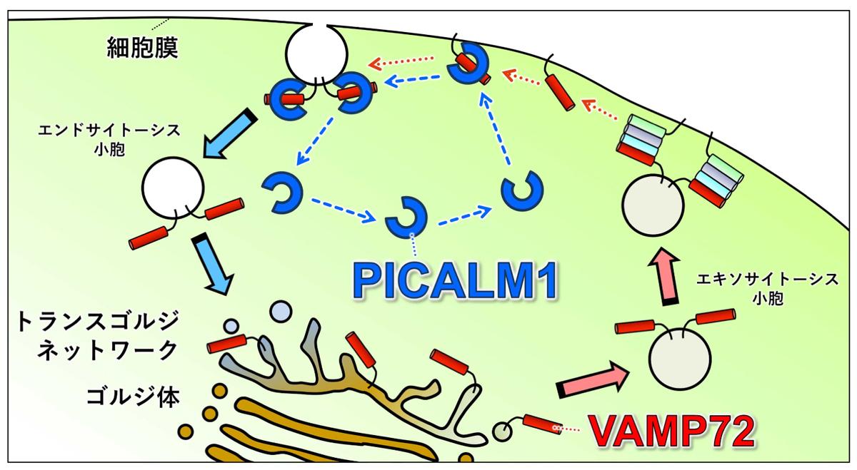 VAMP72がPICALM1によって細胞膜から回収される様子を示した模式図