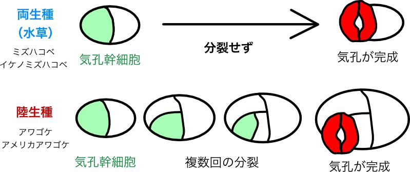 図1 :本研究で見出されたアワゴケ属における気孔の作り方の違い